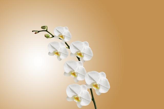 Phalaenopsis Orchid Ca